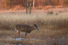 在车轮痕迹期间,一头白被盯梢的鹿在清早点燃 免版税库存图片