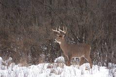 在车轮痕迹期间,一头白被盯梢的鹿在清早雪顽抗 库存图片