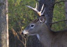 在车轮痕迹期间,一头白被盯梢的鹿在清早顽抗 库存照片