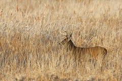 在车轮痕迹期间,一头白被盯梢的鹿在清早顽抗 图库摄影