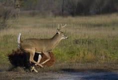 在车轮痕迹期间,一头白被盯梢的鹿通过草甸顽抗赛跑在母鹿以后 免版税库存照片