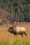 在车轮痕迹期间的公牛麋Bugling 图库摄影