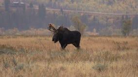 在车轮痕迹的公牛麋 股票视频