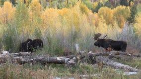 在车轮痕迹的大公牛和母牛麋 股票视频