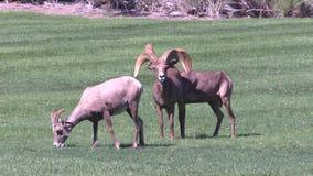 在车轮痕迹的沙漠大角羊 免版税库存照片