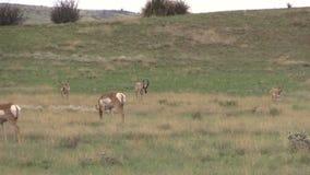 在车轮痕迹的Pronghorn牧群 图库摄影