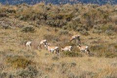 在车轮痕迹的Pronghorn牧群 免版税库存照片