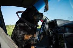 在轮子后的狗 图库摄影