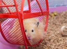 在轮子的仓鼠 免版税库存照片
