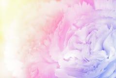 在软性的甜颜色康乃馨和迷离称呼背景 库存照片