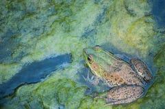 在软泥的牛蛙 库存图片