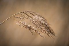 在软的棕色背景前的干燥芦苇 库存图片