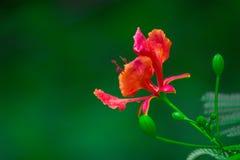 在软的绿色背景中看见的Gulmohar植物 免版税图库摄影