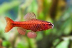 在软的绿色背景的美丽的红色鱼 游泳热带淡水水族馆坦克的男性倒钩 Puntius titteya 免版税库存照片