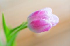在软的背景的精美桃红色郁金香 免版税库存照片