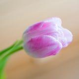 在软的背景的精美桃红色郁金香 库存照片