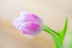 在软的背景的精美桃红色郁金香 免版税图库摄影