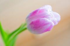 在软的背景的精美桃红色郁金香 库存图片