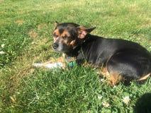 在软的草的奇瓦瓦狗狗 免版税图库摄影