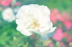 在软的迷离bokeh的玫瑰背景的 免版税库存照片
