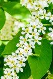 在软的阳光的开花的稠李李属padus 花鸟樱桃树特写镜头 宏观照片开花hagberry 免版税库存照片