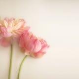 在软的颜色和迷离样式的甜颜色莲花在桑树裱糊纹理 图库摄影