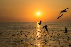 在轰隆Poo, Samut Prakarn省,在日落期间的泰国的飞行的布朗带头的鸥 库存照片