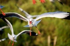 在轰隆Poo, Samut Prakarn省,泰国的飞行的布朗带头的鸥 库存照片