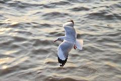在轰隆Pu的海鸥温暖肥沃的新的家 普遍的旅游目的地在泰国 免版税图库摄影