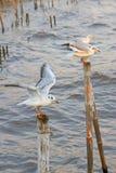 在轰隆Pu的海鸥温暖肥沃的新的家 普遍的旅游目的地在泰国 免版税库存图片