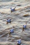 在轰隆Pu的海鸥温暖肥沃的新的家 普遍的旅游目的地在泰国 库存照片