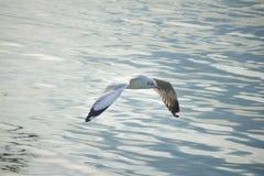 在轰隆Pu Samutprakran的海鸥鸟 免版税库存照片