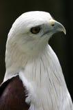 在轻微老鹰之上 免版税库存图片