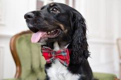 在轻的屋子内部,尾随在一个红色蝶形领结的西班牙猎狗 宠物是三岁坐椅子 方格的红色 库存照片
