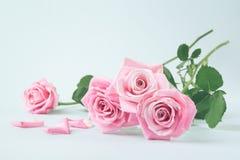 在轻的淡色背景的桃红色玫瑰 库存图片