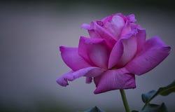 在轻的背景一朵大桃红色玫瑰花 免版税库存图片