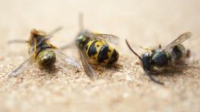 在轻的背景的一些只死的蜂 一名疲乏的工作者,工作者坚苦工作的概念 图库摄影