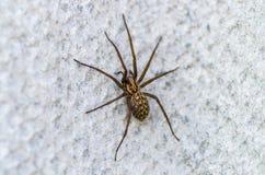 在轻的背景的布朗可怕蜘蛛食肉动物的昆虫在狂放 库存照片