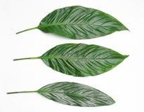 在轻的背景的美丽的热带叶子 免版税库存图片