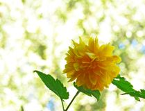 在轻的背景的黄色蒲公英花 免版税图库摄影