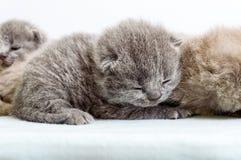在轻的软的格子花呢披肩的小的美丽的苏格兰小猫 库存照片