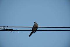 在输电线的鸠鸟反对清楚的天空背景 免版税库存图片