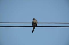 在输电线的鸠鸟反对清楚的天空背景 库存照片