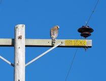 在输电线的鹰 库存照片