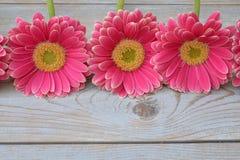 在边界的三朵桃红色黄色大丁草雏菊在与空的拷贝空间的灰色老木架子背景荡桨 免版税库存照片