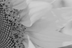 在边的向日葵 免版税图库摄影