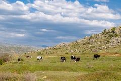 在边的母牛动物 库存照片