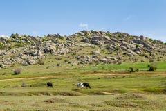 在边的母牛动物 库存图片
