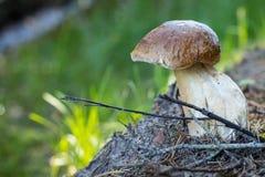 在边缘的年轻Porcini蘑菇 免版税库存照片