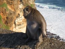 在边缘的猴子 图库摄影